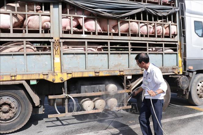 4.500 con lợn được vận chuyển mỗi ngày qua trạm kiểm dịch Ông Đồn ra Bắc ảnh 1