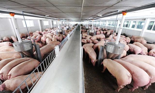 Giá thịt lợn hơi giảm, rời mốc 90.000 đồng/kg ảnh 1
