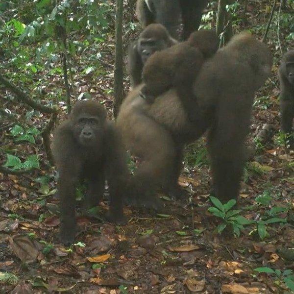 Khỉ đột quý hiếm nhất thế giới xuất hiện cùng đàn con ảnh 1