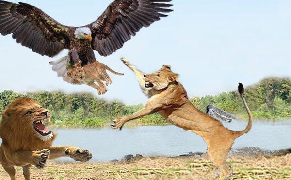 Tuyệt vọng trong vòng vây đàn sư tử, đại bàng chớp thời cơ thoát chết ngoạn mục ảnh 1