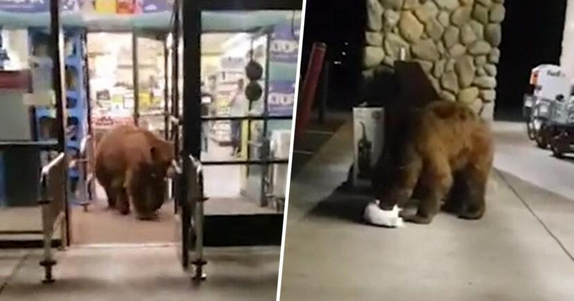 Tự nhiên 'như ruồi', chú gấu mò vào siêu thị kiếm ăn ảnh 1