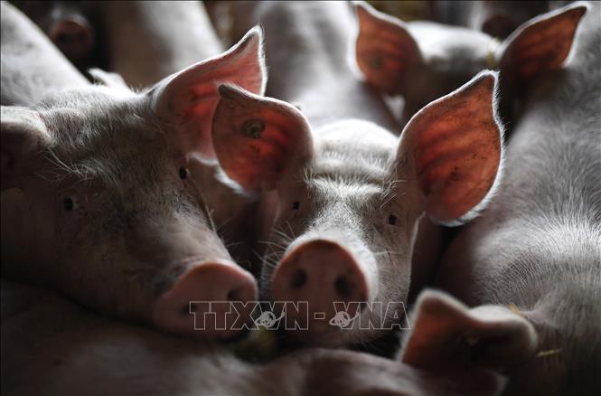 Dịch tả lợn châu Phi lan rộng tại Lào ảnh 1