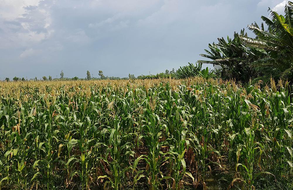 Quý I-2021: Diện tích gieo trồng đạt hơn 252.000ha ảnh 1