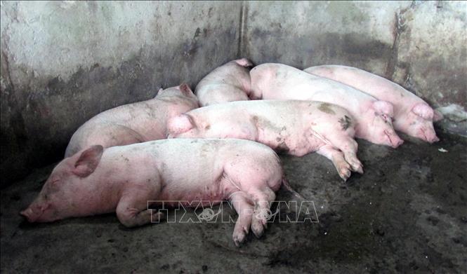 Philippines ban bố tình trạng thảm họa do dịch tả lợn châu Phi ảnh 1