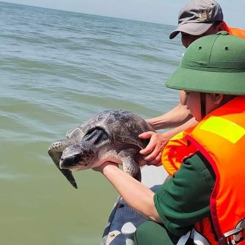 Kịp thời giải cứu cá thể rùa biển quý hiếm nặng 15 kg