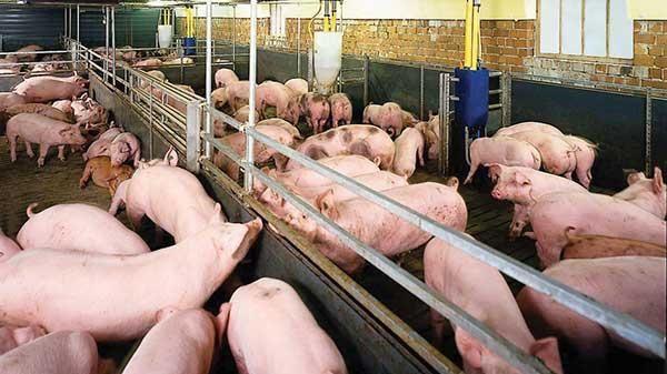 Từ 20-4: Phạt tới 160 triệu đồng với tổ chức sử dụng chất cấm trong chăn nuôi