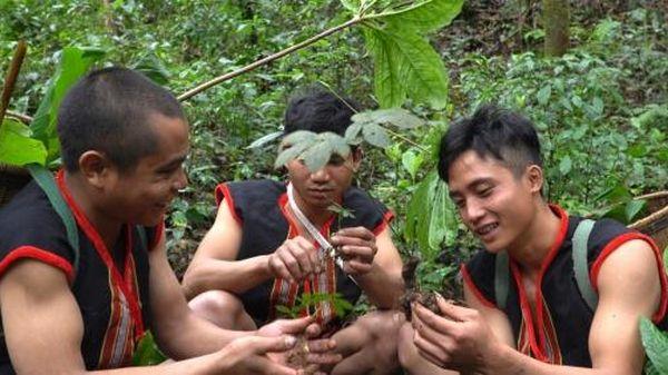 Những câu chuyện về loài sâm số 1 thế giới: Bừng sáng những làng quê nghèo
