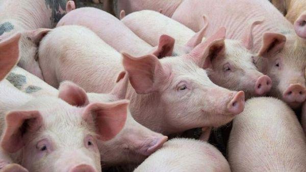 Giá lợn hơi hôm nay 8/4: Tiếp tục đi ngang tại miền Trung và Tây Nguyên
