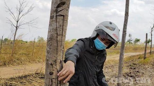 Gia Lai: Cao su 'chết yểu' tại dự án chuyển đổi rừng nghèo