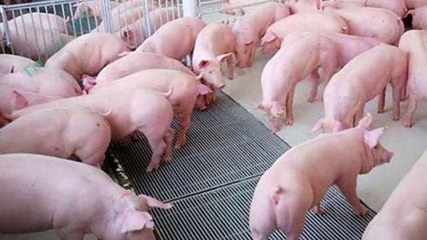 Giá lợn hơi giảm mạnh, thấp nhất 67.000 đồng/kg