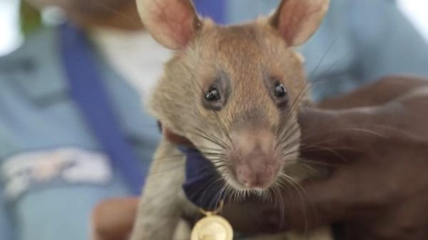 'Chuột anh hùng' nghỉ hưu sau 5 năm dò bom mìn