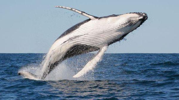 Chàng trai nguy kịch sau khi cá voi nhảy lên tàu