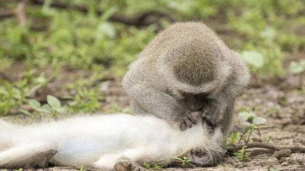 Đằng sau bức ảnh khỉ hà hơi thổi ngạt cho đồng loại bị thương