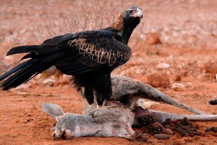 Loài đại bàng lớn nhất Australia săn cả kangaroo - Zing - Tri thức trực tuyến