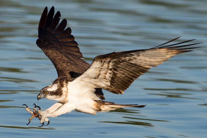 Chim ưng gặp nạn bơi lại thuyền nhờ giúp đỡ - Zing - Tri thức trực tuyến