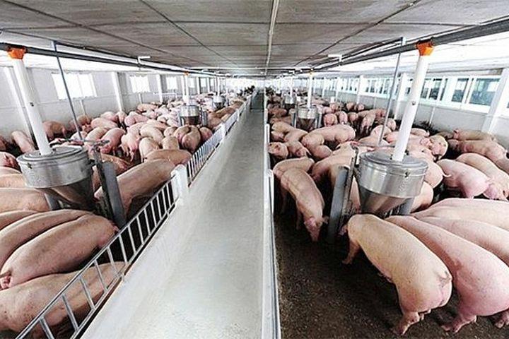 Giá lợn hơi ngày 1/8/2021: Cả 3 miền giảm 1.000 - 6.000 đồng/kg - Báo Kinh Tế Đô Thị