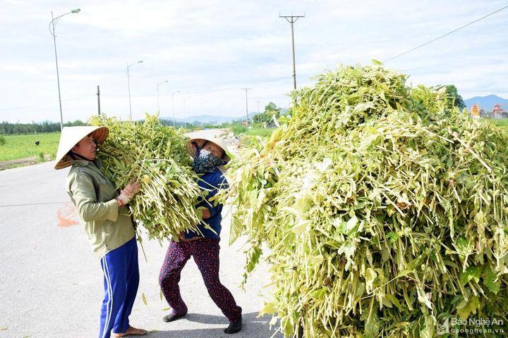 Trồng cây 'làm chơi, ăn thật' nông dân Nghệ An thu hàng chục triệu đồng/ha - Báo Nghệ An