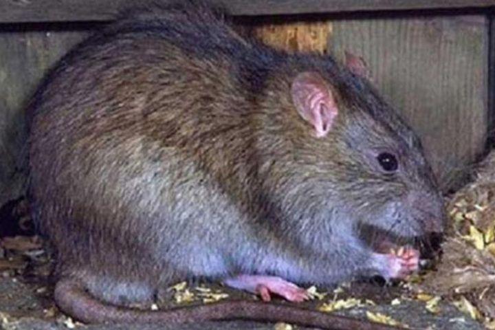 Đặc sản tăng cường sinh lực được làm từ bộ phận nhạy cảm của con chuột - Báo Tri Thức & Cuộc Sống