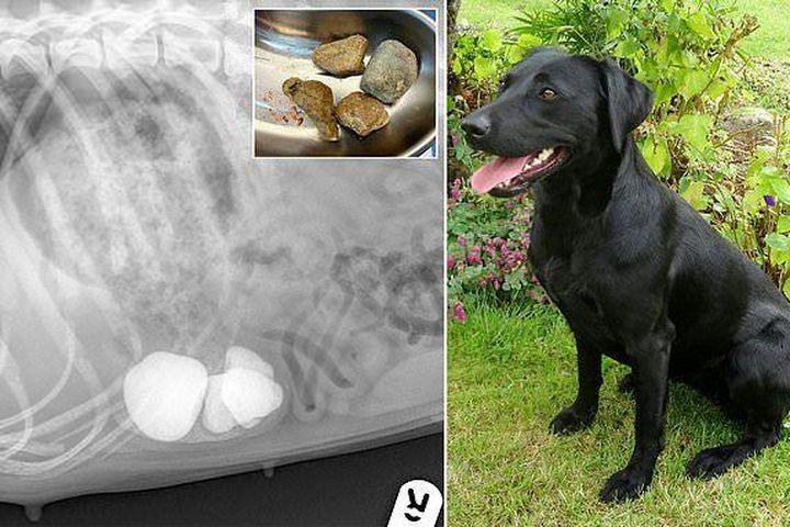 Chú chó nuốt phải 11 viên đá khi đi dạo và cái kết - Chuyên trang Infonet