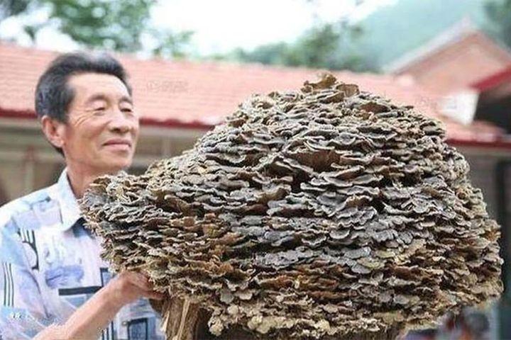 Đi hái thuốc, lão nông Trung Quốc tìm thấy 'báu vật' trời ban - Báo Tri Thức & Cuộc Sống