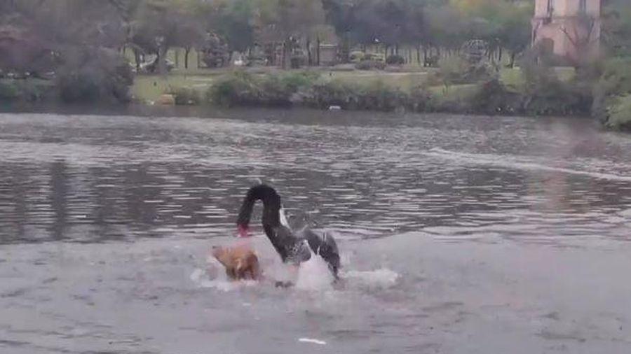 Bơi trong hồ nước, chú chó bị thiên nga đen tấn công dữ dội
