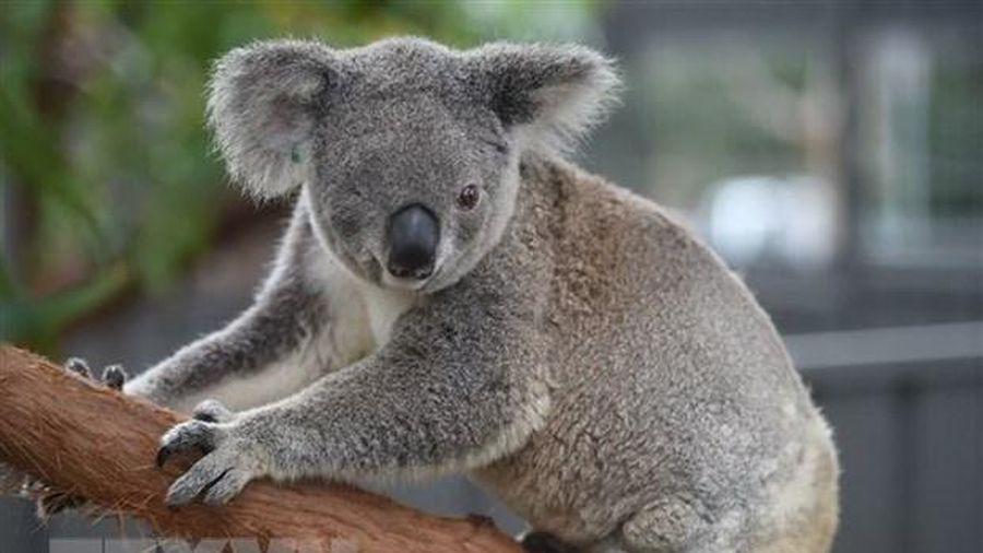 Australia mở chiến dịch quyên góp cứu gấu túi bị thương do cháy rừng