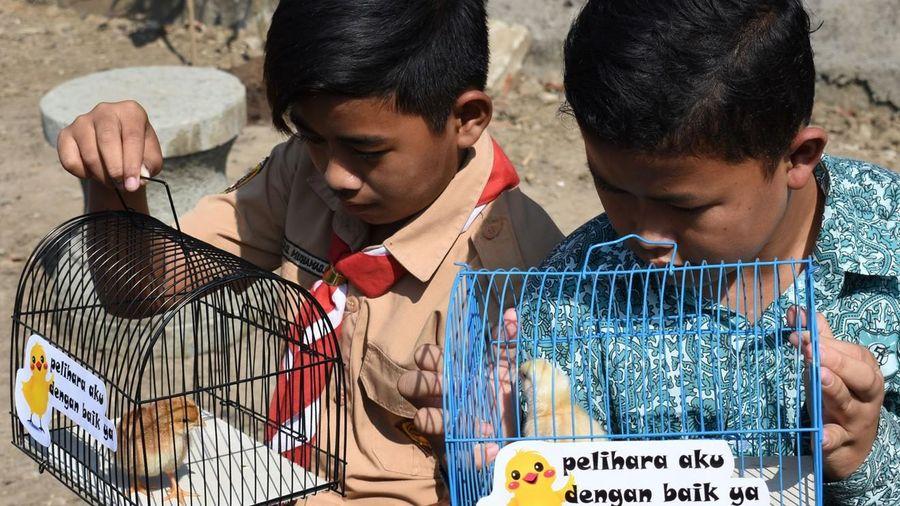 Indonesia tặng gà con cho trẻ nhằm giúp chúng tránh xa smartphone