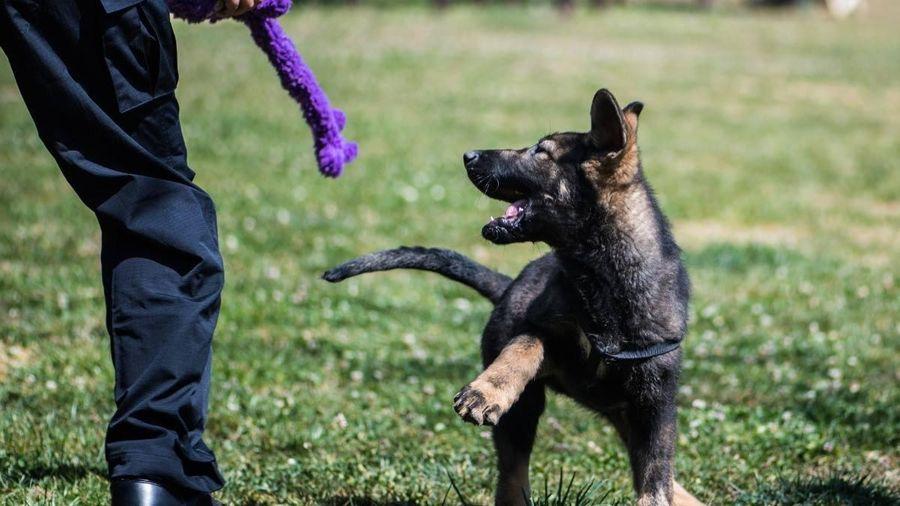 6 chú chó nhân bản vô tính gia nhập lực lượng cảnh sát Bắc Kinh