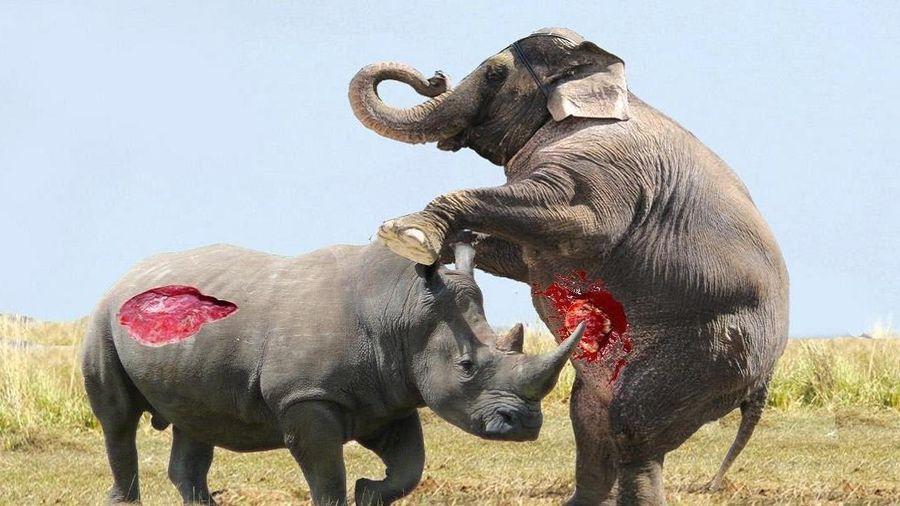 Cuộc chiến cân sức giữa voi và tê giác