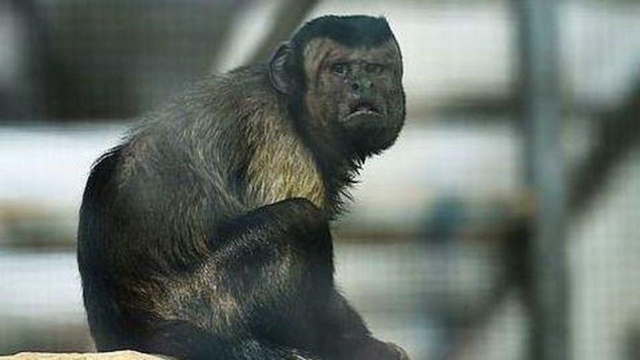Con khỉ có gương mặt giống người 'cô đơn' trong tình yêu