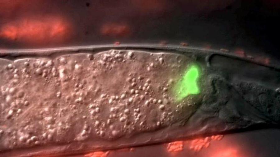 Mỹ phát hiện thuốc kháng sinh mới trong ruột giun ký sinh