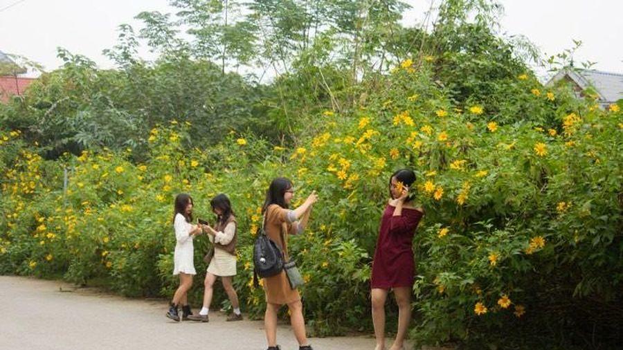 Giới trẻ đua nhau lên Ba Vì check-in vườn dã quỳ đẹp nhất Hà Nội