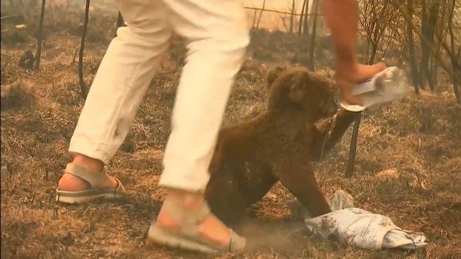 Người phụ nữ cứu sống chú gấu koala giữa đám cháy rừng dữ dội
