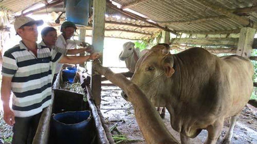 Phú Yên: Nuôi loài bò bung đùi, đổ thịt, chưa bán nhưng lái cứ vào ngó suốt