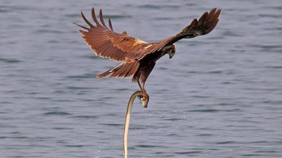 Ảnh động vật: Rắn ranh mãnh cướp cá của đại bàng