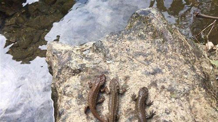Cá có chân lạ vừa thấy ở Cao Bằng là loài quý ra sao?