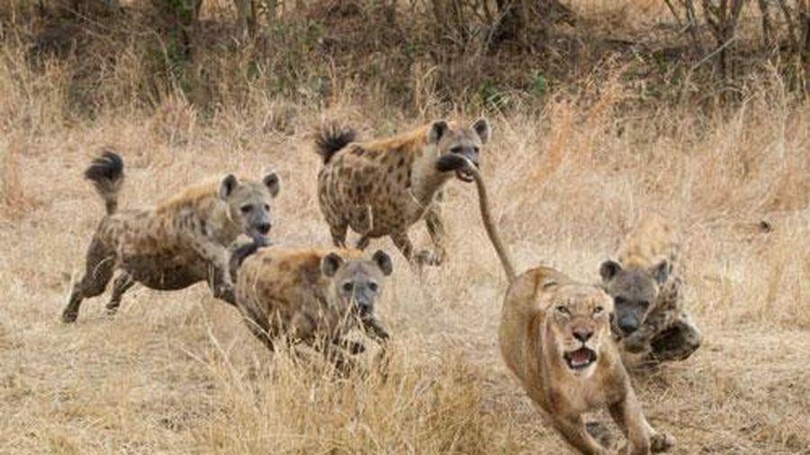 Sư tử 'ăn no đòn' vì tấn công linh cẩu con