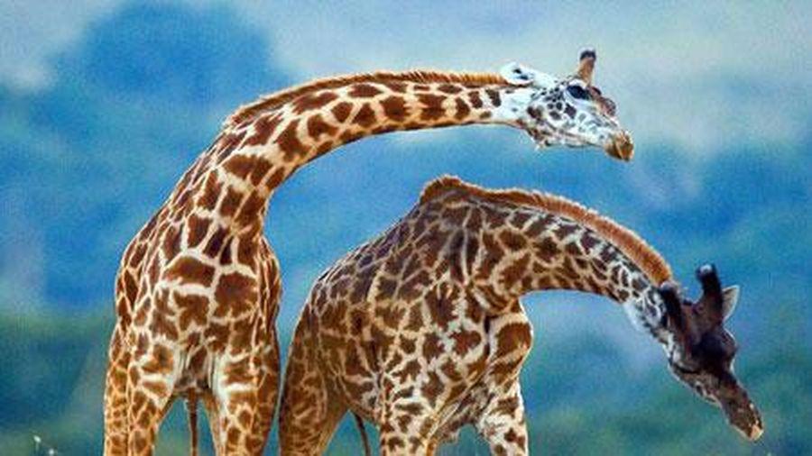 Khoảnh khắc hiếm gặp: hươu cao cổ 'khiêu vũ' giữa thiên nhiên
