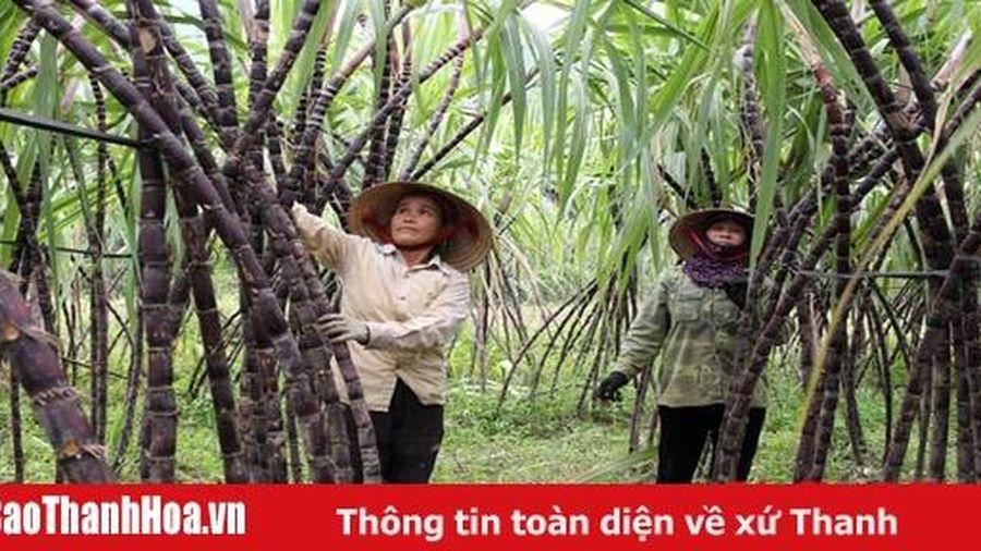 Xã Điền Trung (Bá Thước) trồng 315 ha mía tím