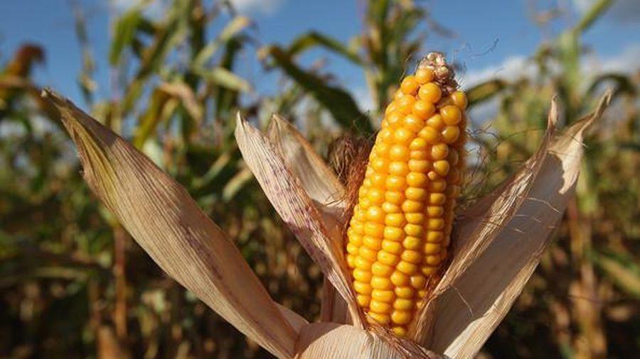 Giá đậu tương và ngô giảm xuống trong tuần này