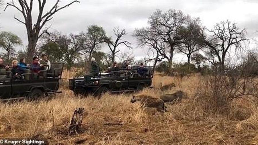 Tranh mồi với báo đốm, linh cẩu giúp lợn rừng chạy thoát thân