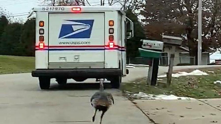 Gà tây giận dữ đuổi theo xe thư báo hàng km