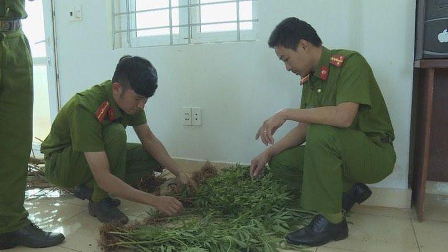 Hàng trăm cây cần sa được trồng trên rẫy cà phê ở Đắk Lắk