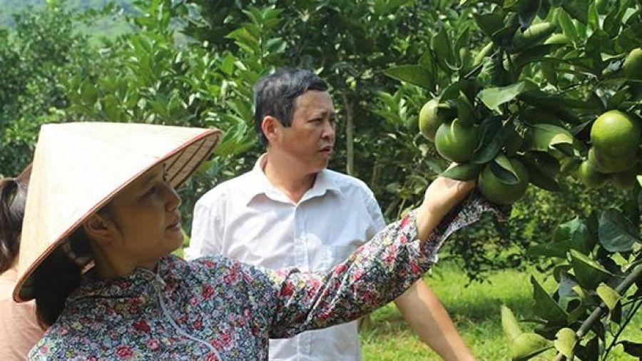 Yên Bái: Hiệu quả từ trồng cam Vinh theo VietGAP