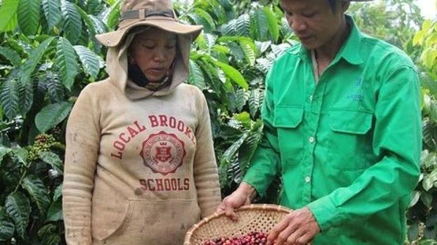 Tây Nguyên: Cà phê đồng loạt tăng thêm 900.000 đồng/tấn