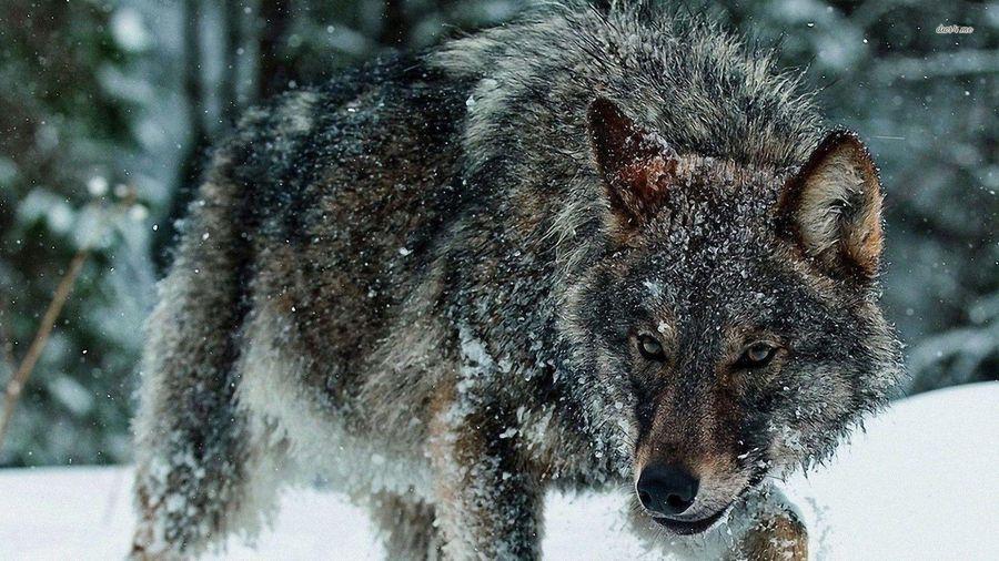 Cuộc săn nai sừng tấm của bầy sói