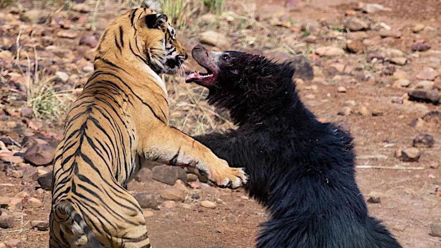 Gấu mẹ chiến đấu với hổ để cứu đàn con