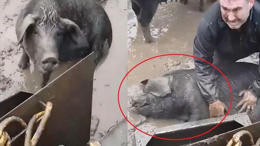 Người đàn ông sợ hãi phát khóc khi cố cứu con lợn thoát chết