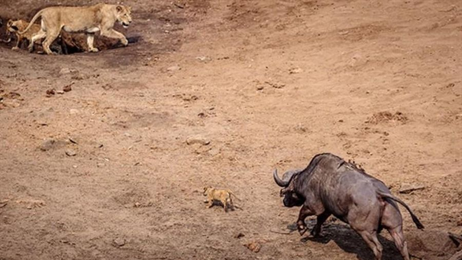 Trâu rừng hung dữ tấn công, sư tử con thoát chết gang tấc
