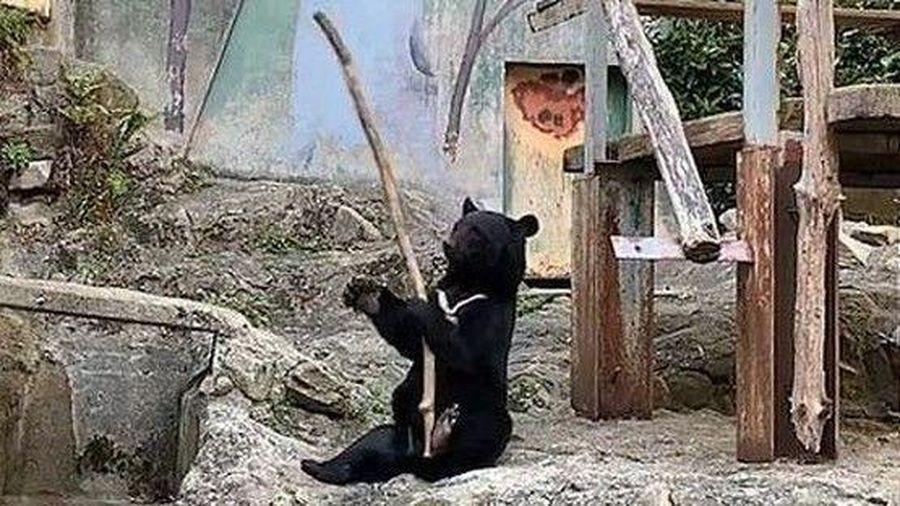 Bật cười với màn luyện võ của gấu đen trong vườn bách thú Asa